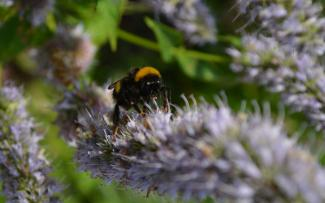 Bumblebee on flowering herb